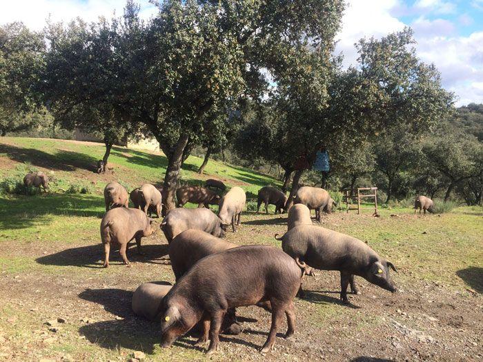 la-montanera-cerdos-alimentacion